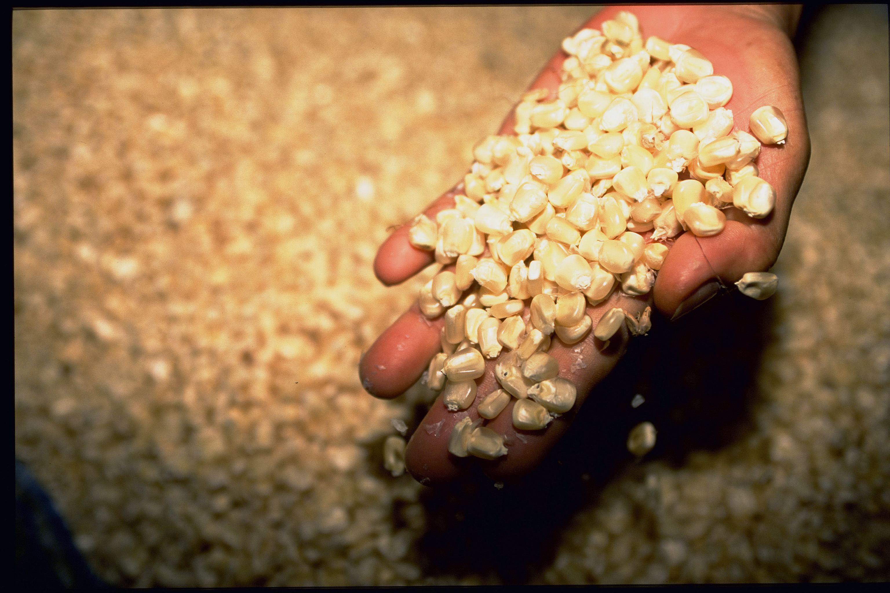 Food security can be increased using improved varieties of corn which produce more tonnes per hectare. Photo by David Haigh for AusAID