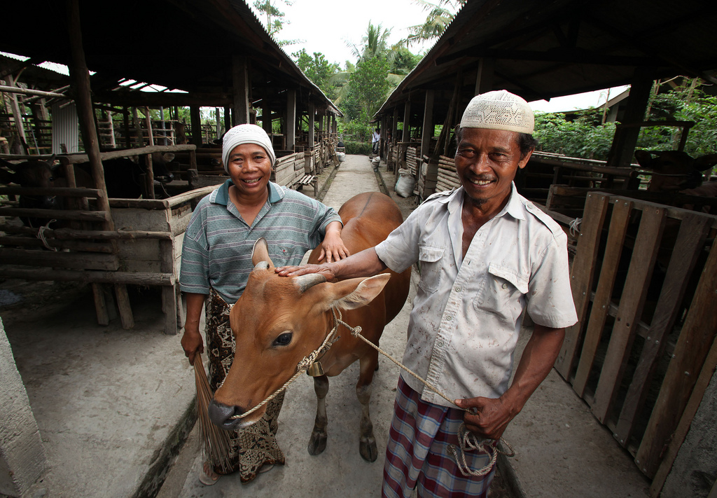 The Posyandu Sapi, or Baby Cow Clinic program is helping farmers improve stock and access to markets, increasing household income. Photo by Josh Estey for AusAID