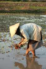 A woman spends all day bent over and standing in water to plant rice seedlings in a paddy field in Laos. Photo by Jim Holmes for AusAID