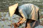 A woman spends all day bent over and standing in water to plant rice seedlings in a paddy field in Laos.