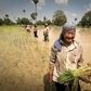 Women work hard in the rice paddies in Cambodia.Photo by Kevin Evans for AusAID