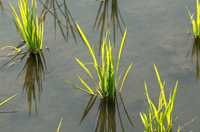 Newly planted paddy rice seedlings in a field near Sekong, Laos.