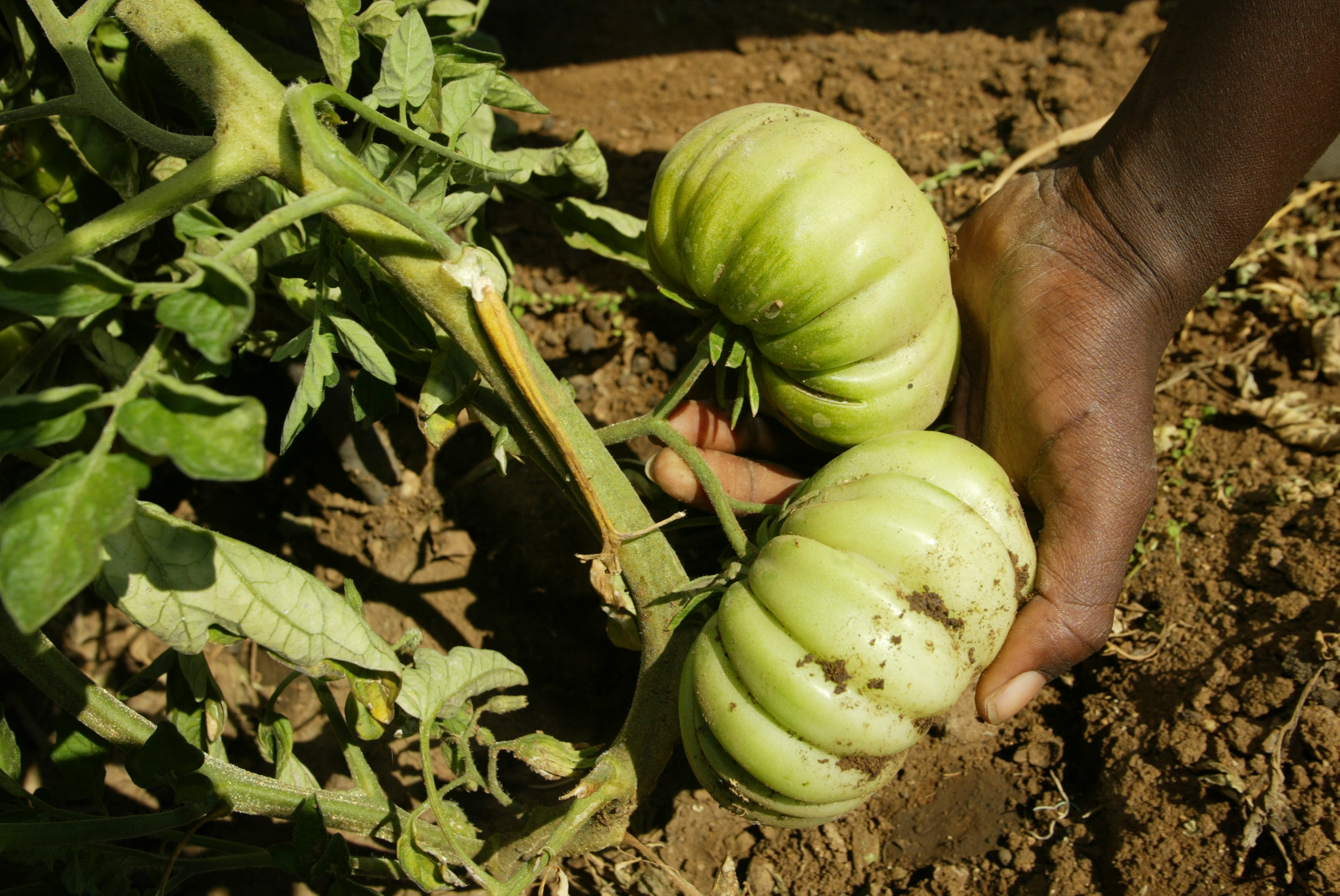 Practical Action showed farmers in Zimbabwe how to make better use of the water in low-rainfall areas and to increase production of plants such as these tomatoes. Practical Action/Desmond Kawanda