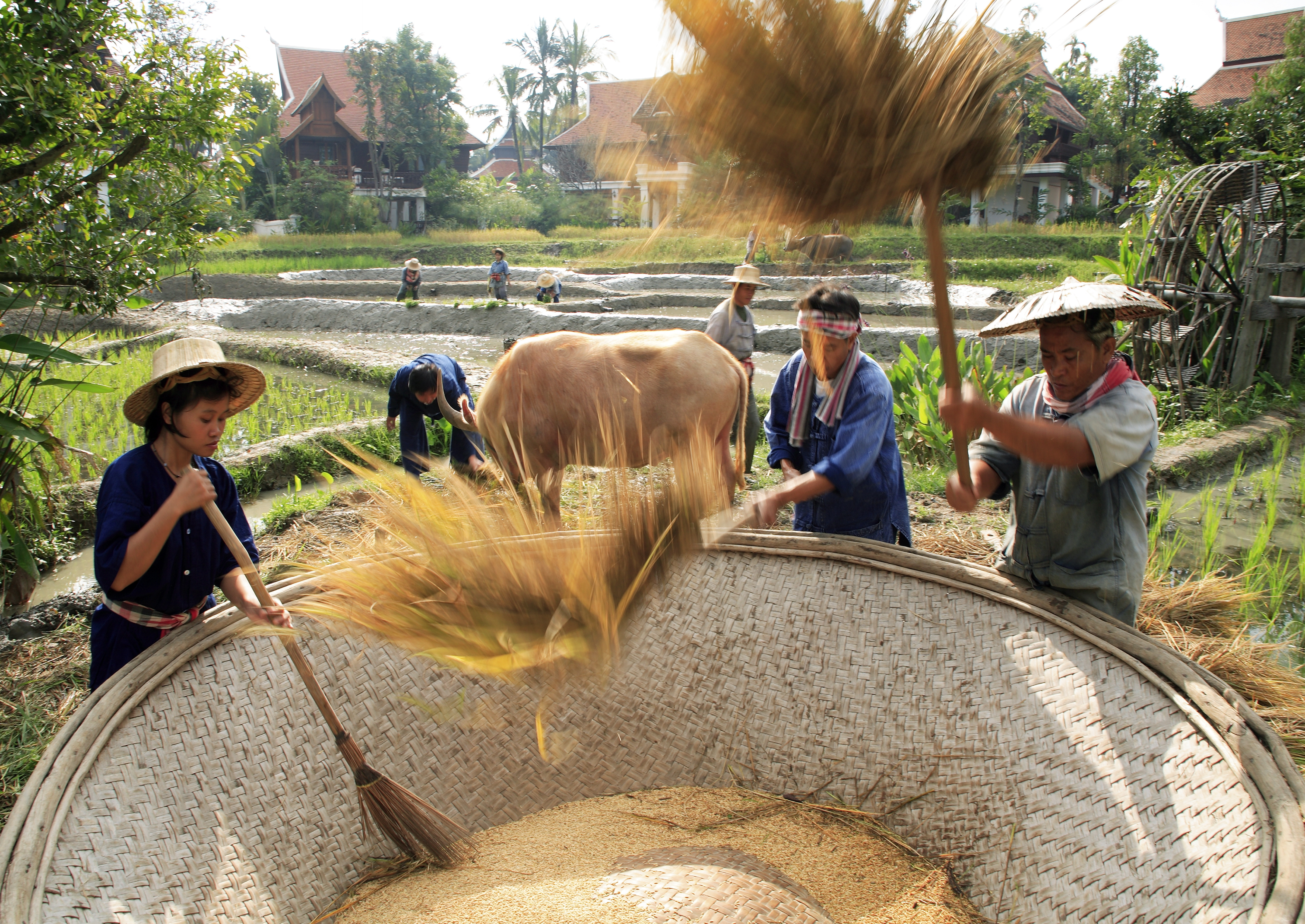 Farmers threshing, or separating rice seeds from stalks and husks (chaff), in Thailand Photo © Luca Tettoni/Robert Harding World Imagery/Corbis