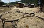 Unhusked rice and another crop are drying in the sun in a village near Sekong, Laos.