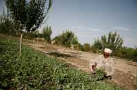 An Afghan man in traditional dress collects a green leafy vegetable from an agricultural demonstration plot.