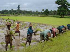 Women transplant seedlings into the rice paddy in Myanmar. Photo by Richard-dicky/Wikimedia CC BY-SA 3.0 licence