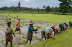 Women transplant seedlings into the rice paddy in Myanmar.