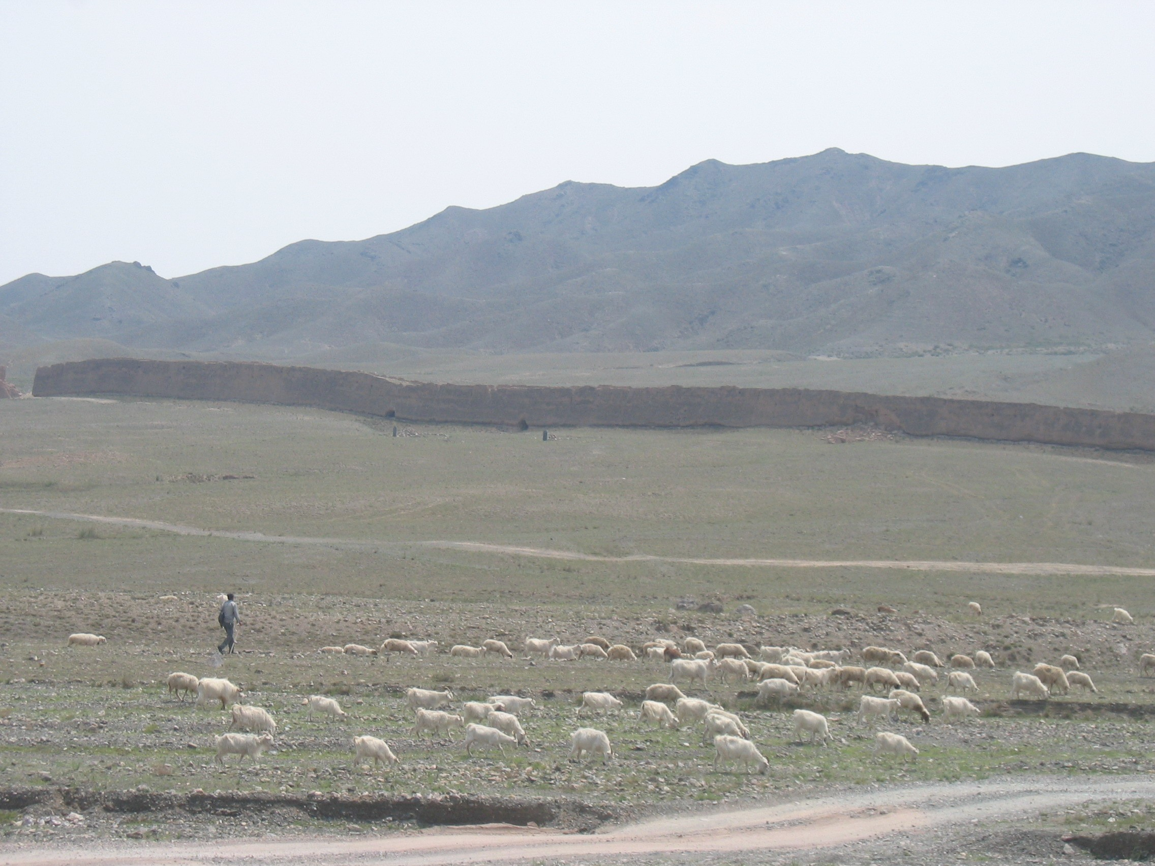 Grazing too many goats loosens the ground cover, leading to desertification of the fragile environment in northern China. Photo by Adrian Williams/ACIL