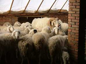 Crossbred sheep are kept inside in winter, in northern China. Photo by Adrian Williams/ACIL