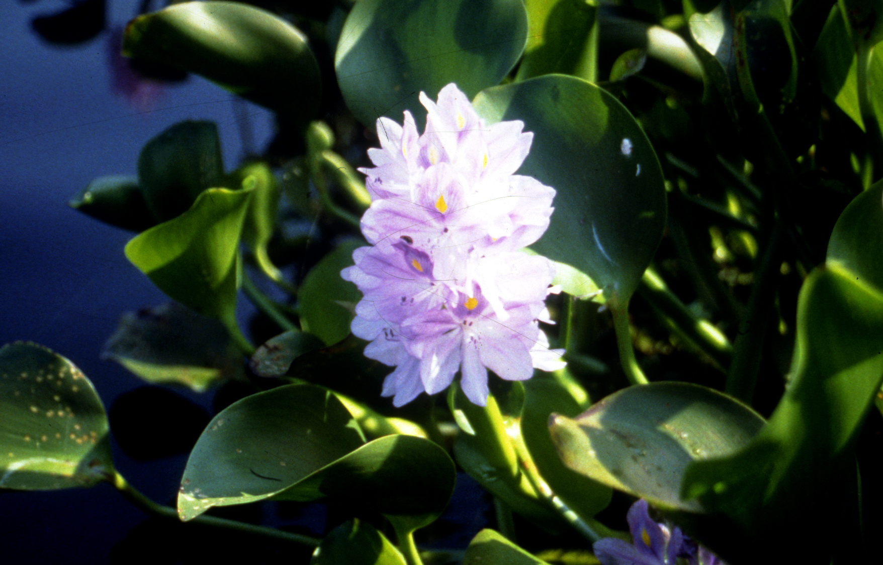 The water hyacinth was introduced into Papua New Guinea because of its attractive flower. Photo © CSIRO Entomology
