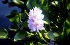 The water hyacinth was introduced into Papua New Guinea because of its attractive flower.