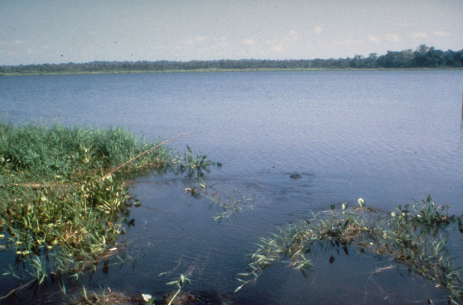 Tambali Lagoon was totally clear three years after the introduction of the chevroned water hyacinth weevil. Photo © CSIRO Entomology