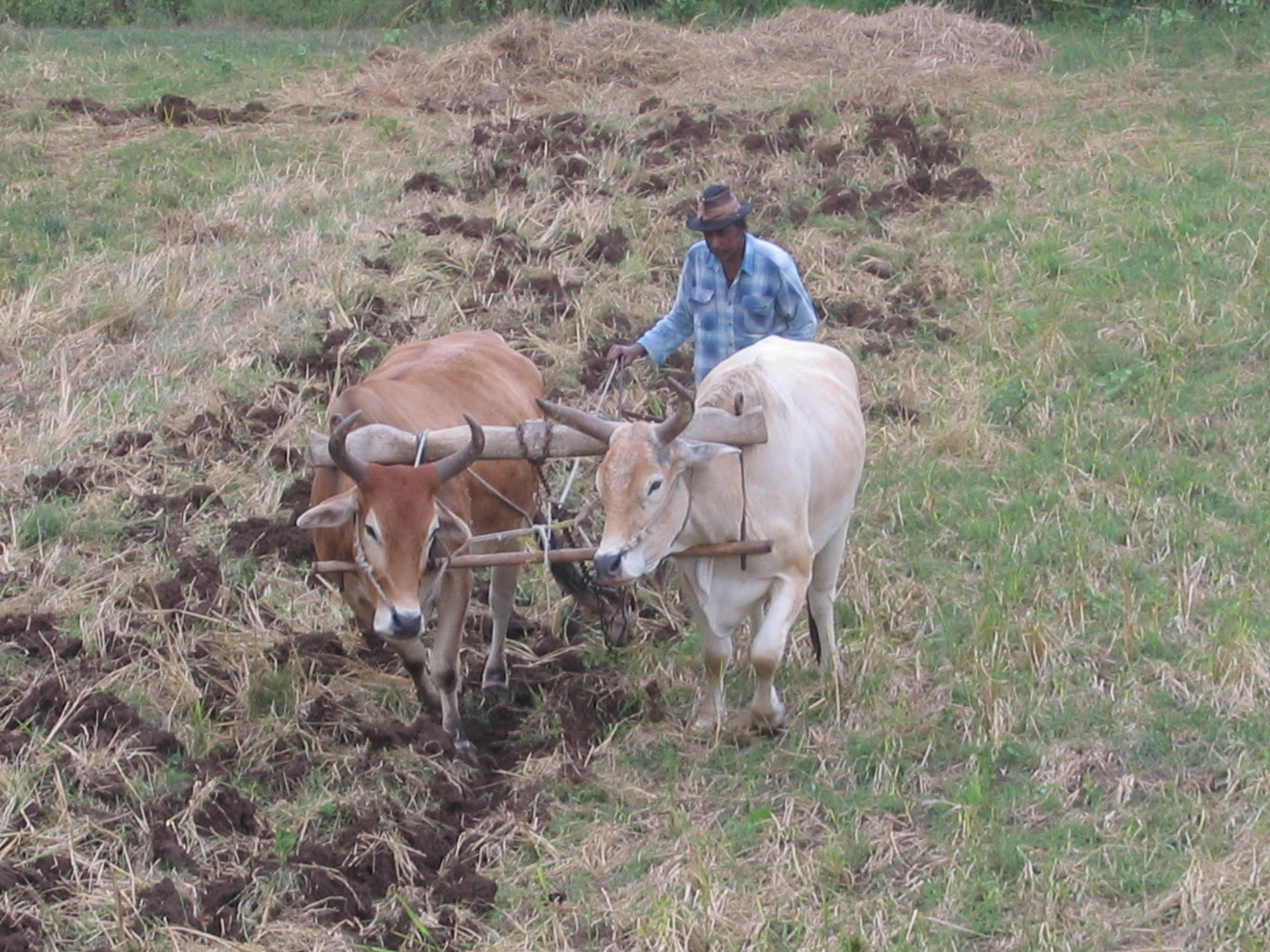 Ploughing a field for sugar cane production in Nadi, Fiji. Photo © Commonwealth of Australia http://www.bom.gov.au/other/copyright.shtml?ftr