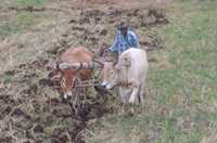 A farmer uses two bullocks to ploughing a grassy field.