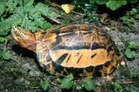 The Indochinese box turtle, Cuora galbinifrons, once common across much of South-East Asia, is now listed as critically endangered.