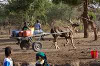 A cart pulled by a zebu makes carrying water back to the village quicker and easier in Niger.