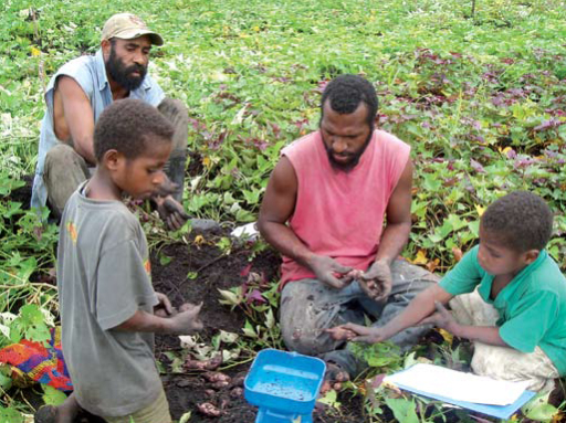 Everyone helps to record tuber weights at harvest in Papua New Guinea. Photo from World Vision Australia