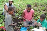 Everyone helps to record tuber weights at harvest in Papua New Guinea.