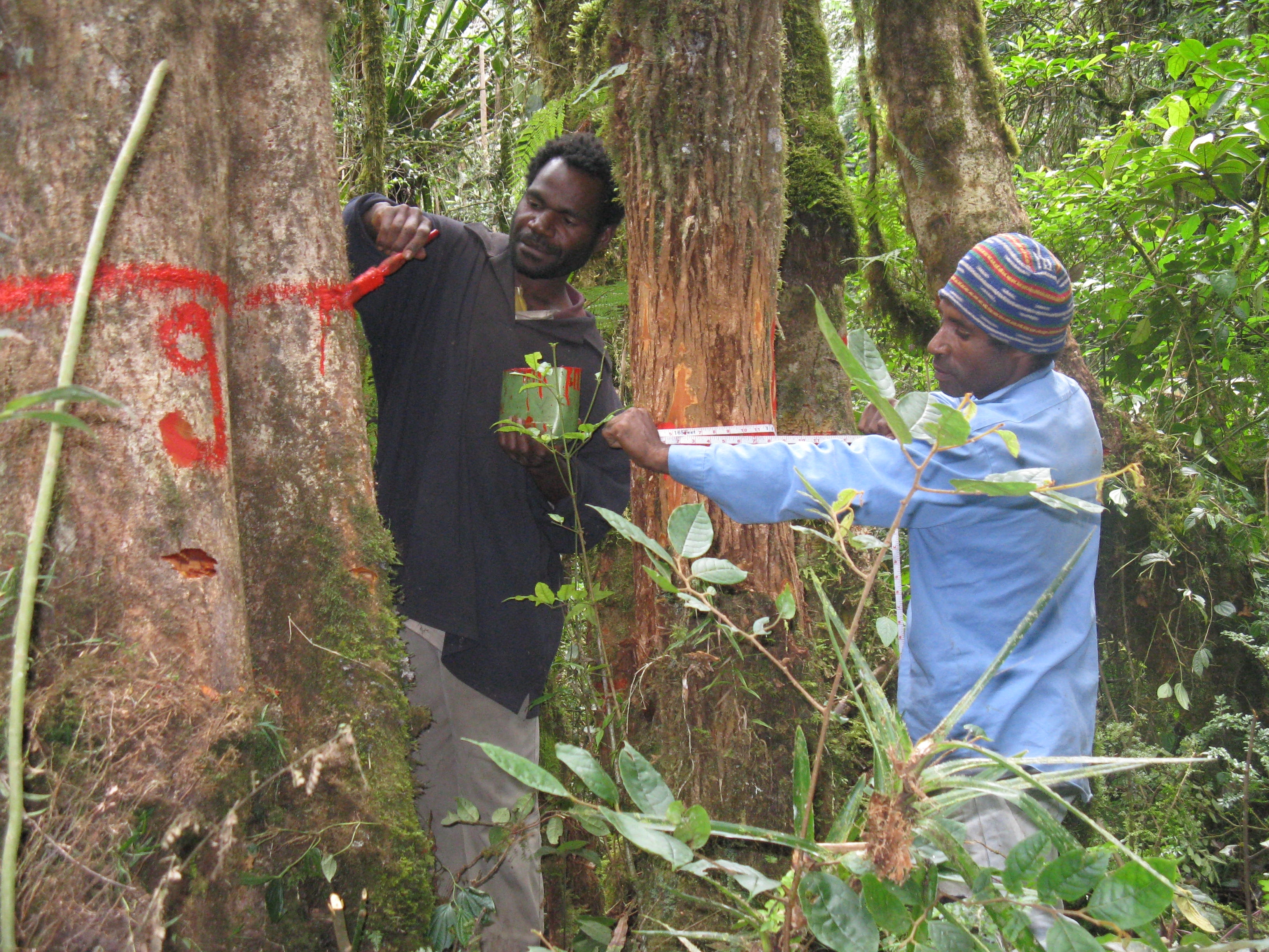 Men measure the girth of a tree in Papua New Guinea. Photo by Julian Fox