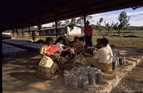 Villagers prepare the mulberry seedlings in the newly built sheds.