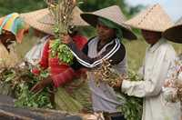 In Lombok, Indonesia, cooperatives help peanut farmers pool their resources to expand access to markets, improve productivity and reduce poverty.