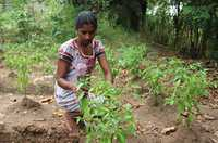 A woman harvests chillies in her garden.