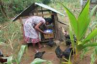 A woman collects eggs from her hen house while hens peck the surrounding ground.