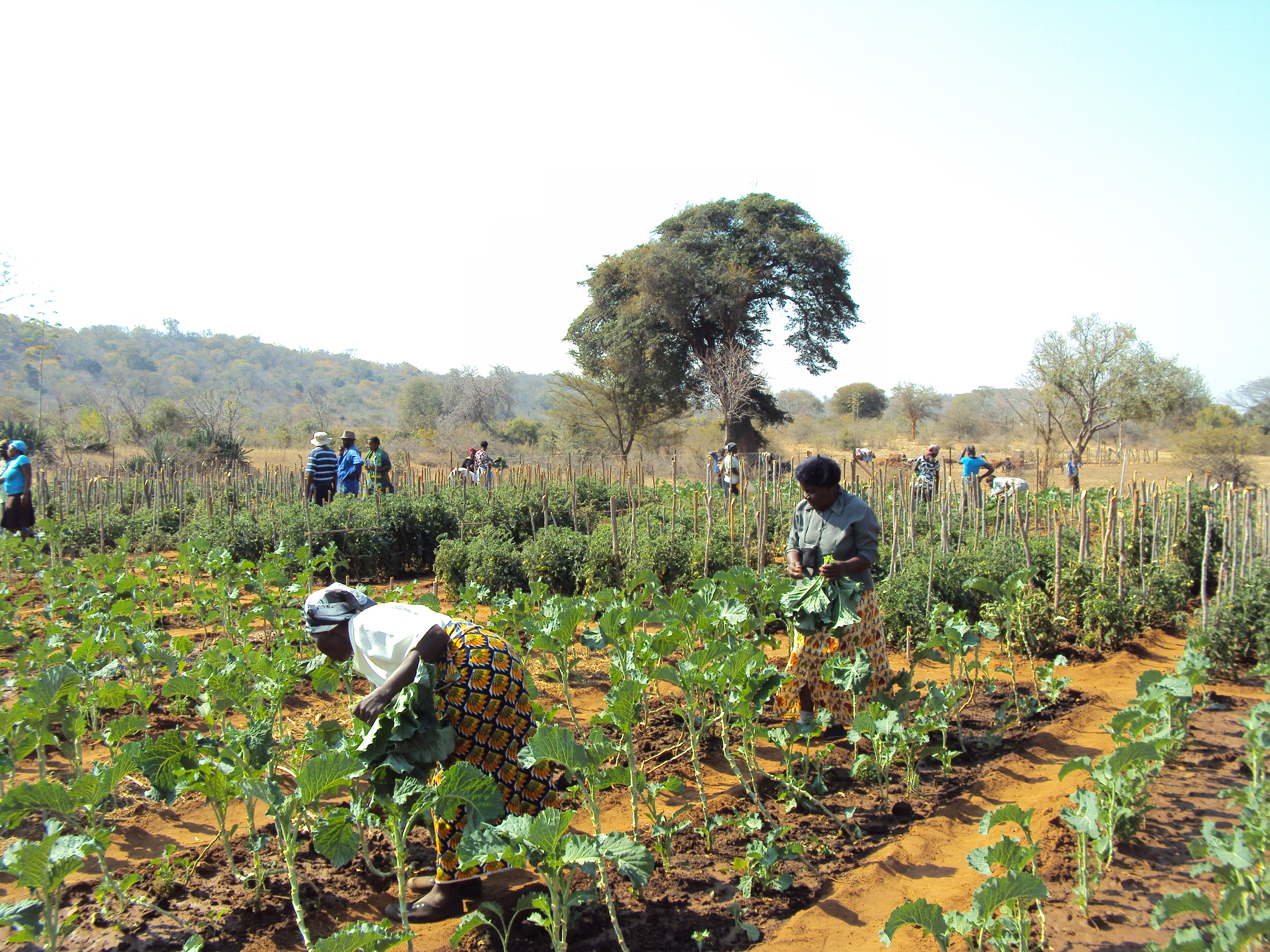 Women grow vegetables for their families in a communal garden in Zimbabwe. Image by Siobhan Jordan, Caritas Australia