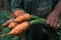 A hand holding a bunch of carrots by their green tops.