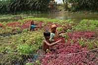 Two women and one boy harvest vegetables grown on rafts of hyacinth roots.